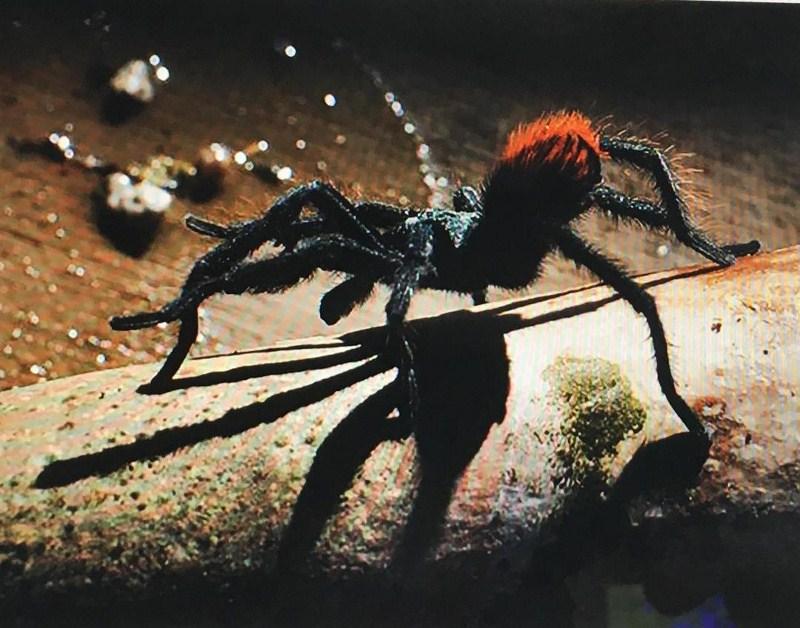 Tarantula (c) Mary Ann Hanson-Germond